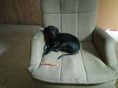 Lost black male dog.