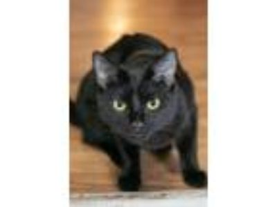 Adopt Pecan-At the Adoption Center a All Black Domestic Shorthair (short coat)