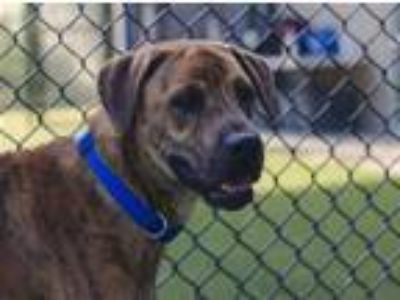 Adopt AKILIS a Brindle Boxer / Mixed dog in Dallas, TX (25929066)