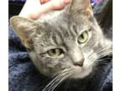 Adopt Lily Taza a Gray, Blue or Silver Tabby Domestic Shorthair (short coat) cat