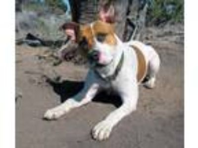 Adopt Peaches-SHOWN BY APPT ONLY a White American Pit Bull Terrier / Mixed dog