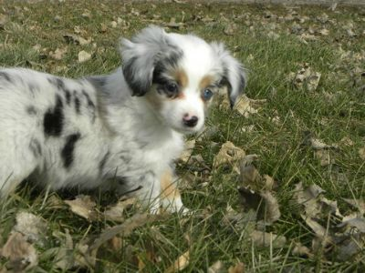 Miniature Australian Shepherd PUPPY FOR SALE ADN-108717 - Beautiful Mini and Toy Aussies Available