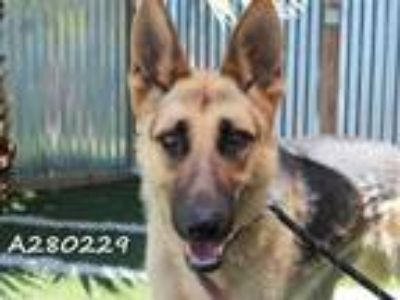 Adopt SONIA a Brown/Chocolate - with Black German Shepherd Dog / Mixed dog in