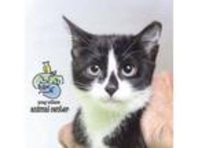 Adopt Sakura a All Black Domestic Shorthair cat in Knoxville, TN (25904469)