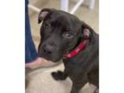 Adopt Puppy a Pit Bull Terrier