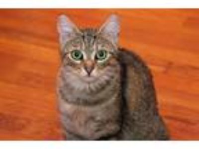 Adopt Abigail a Gray, Blue or Silver Tabby Domestic Shorthair (short coat) cat