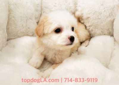 Maltipoo Puppy - Male - Beaver ($1,250)