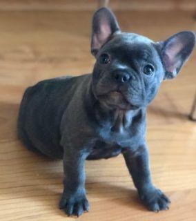 French Bulldog PUPPY FOR SALE ADN-78492 - Blue Girl
