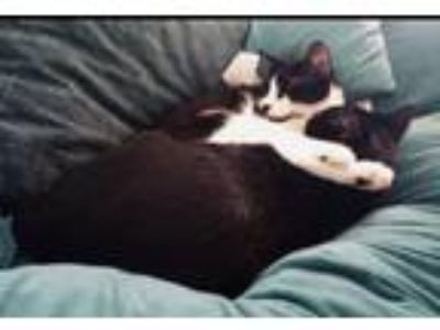 Adopt courtesy - Oliver and Beauregard a American Shorthair