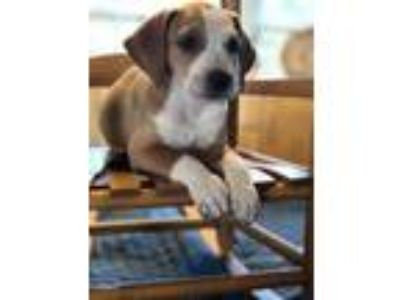 Adopt Madelyn's Pup 1: not at the shelter a Beagle