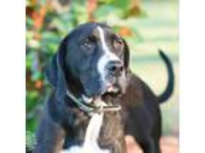 Adopt Bella Keeling a Black Bloodhound / American Staffordshire Terrier dog in