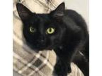 Adopt Robin a All Black Domestic Shorthair / Domestic Shorthair / Mixed cat in