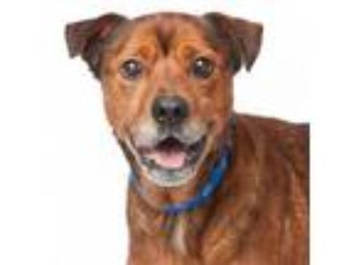 Adopt Arnold a German Shepherd Dog, American Staffordshire Terrier