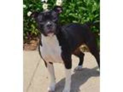 Adopt Sable a Pit Bull Terrier