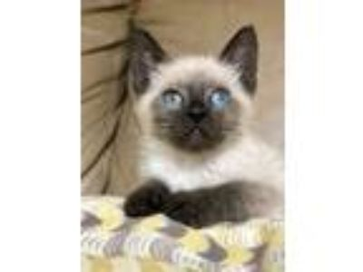 Adopt Joey (SealPoint) Bottle baby a Cream or Ivory (Mostly) Siamese (short