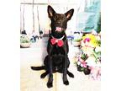 Adopt Lola a Black Labrador Retriever / Mixed dog in Castro Valley