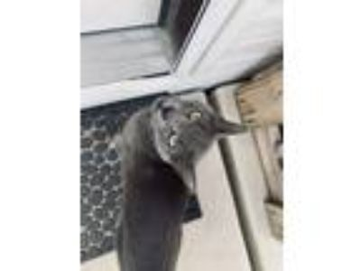 Adopt Blaze a Gray or Blue Russian Blue cat in Peyton, CO (25193244)