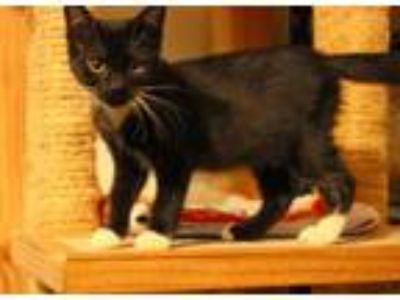 Adopt Noelle a Domestic Short Hair