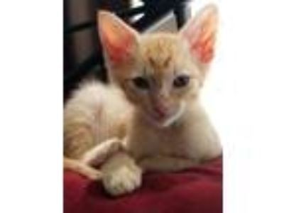 Adopt RAKESH (REX) a Orange or Red Domestic Shorthair / Mixed cat in Woodstock