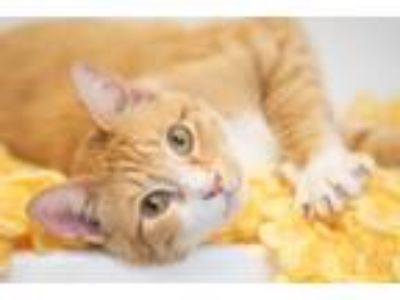 Adopt Cresswood a Orange or Red (Mostly) Domestic Shorthair / Mixed cat in St.