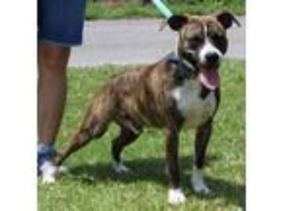 Adopt Sparty 30820 a Brindle - with White Pit Bull Terrier / Labrador Retriever