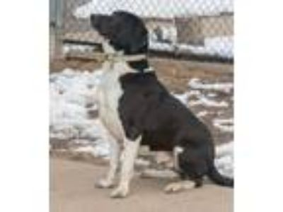 Adopt Calvin a Labrador Retriever, Bernese Mountain Dog