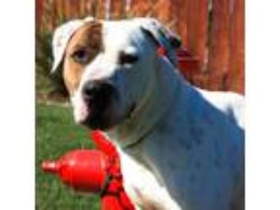Adopt Alisdair a Brindle - with White Mastiff / Pit Bull Terrier / Mixed dog in
