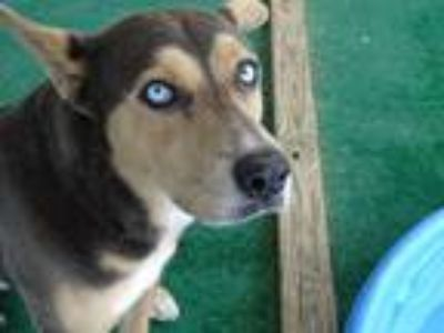 Adopt King a Brown/Chocolate Husky / Mixed dog in Athens, AL (25590580)