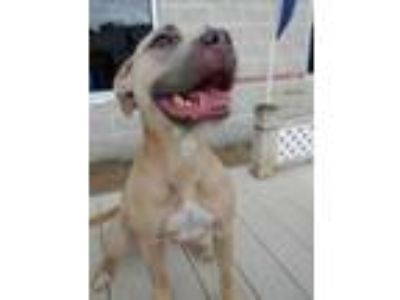 Adopt Kardi a Tan/Yellow/Fawn American Pit Bull Terrier / Mixed dog in