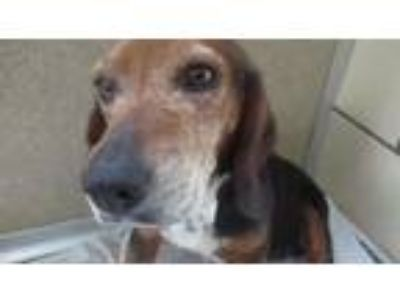 Adopt Becky a Beagle / Mixed dog in Homer Glen, IL (25511476)