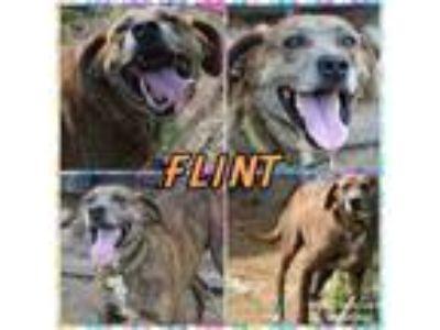 Adopt Flint a Plott Hound
