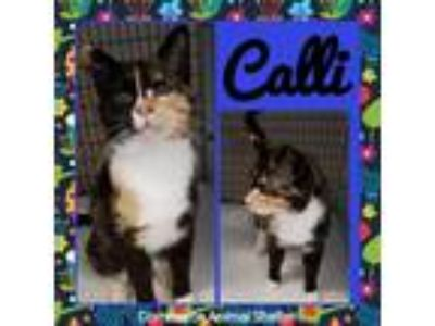 Adopt Cali a Domestic Shorthair / Mixed (short coat) cat in Commerce
