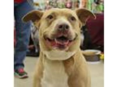 Adopt Sweetie a Pit Bull Terrier