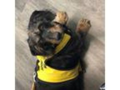 Adopt Jake a Black - with Tan, Yellow or Fawn Dachshund / Mixed dog in