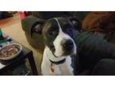 Adopt Hank a Tricolor (Tan/Brown & Black & White) American Pit Bull Terrier /