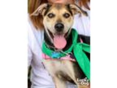 Adopt Alice a Tan/Yellow/Fawn - with Black Shepherd (Unknown Type) / Mixed dog