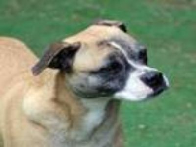 Adopt HIPSTER a Boxer, Mixed Breed