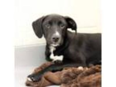 Adopt Andrew a Hound, Mixed Breed