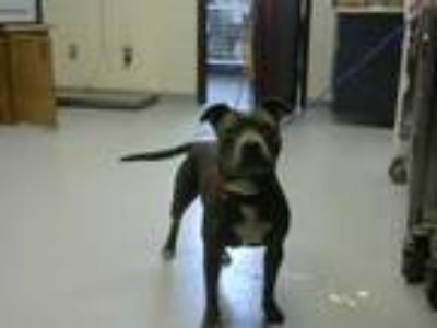 Adopt PRIMROSE a Gray/Silver/Salt & Pepper - with White American Pit Bull