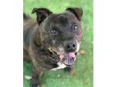Adopt TIMOTHY a Chow Chow, Pit Bull Terrier