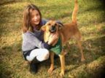 Adopt DANCER a Brown/Chocolate - with Black Belgian Malinois / Mixed dog in New
