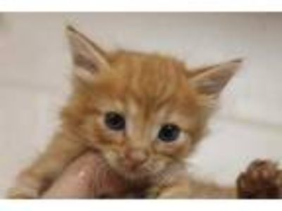 Adopt CINDY a Orange or Red Domestic Shorthair / Domestic Shorthair / Mixed cat