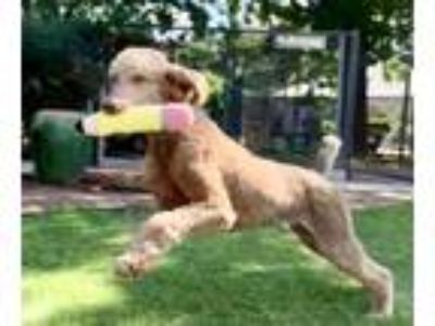 Adopt Bo a Standard Poodle