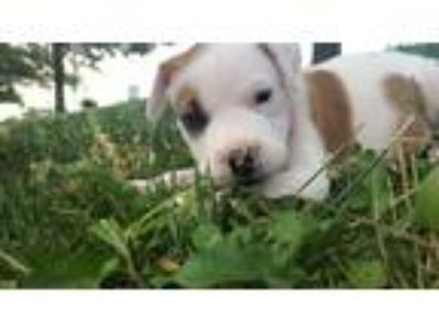 Adopt Daisy a White - with Brown or Chocolate American Pit Bull Terrier dog in
