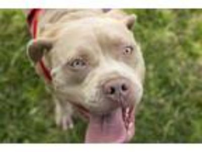 Adopt Indy a American Staffordshire Terrier
