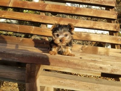 Yorkshire Terrier PUPPY FOR SALE ADN-104734 - Tiny Teacup Yorkie Boy