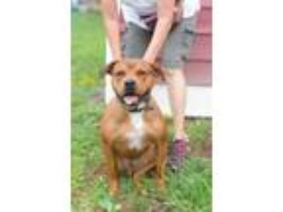 Adopt Jake a Mastiff / Pit Bull Terrier / Mixed dog in Poughkeepsie