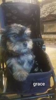 Yorkshire Terrier PUPPY FOR SALE ADN-83172 - home raised and very lovable yorkies