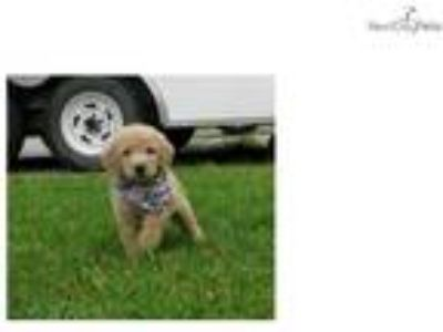 Cody- Adorable Goldendoodle Puppy