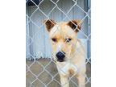 Adopt Simba(tagged for rescue) a Tan/Yellow/Fawn Husky / Husky / Mixed dog in